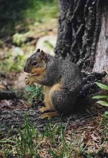 scoiattolo, solo, gobba, musetto, albero, pensiero, pensieroso