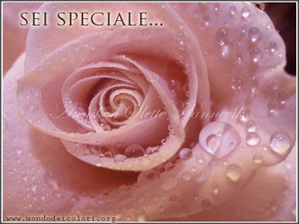 rosa, dono, affetto, sentimento, passione, bisogno, fedele