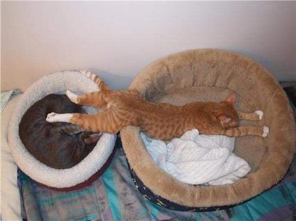 riposo, gatto, fuori di testa, pazze, sonno