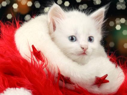 auguri, natalizio, gattino, micio, cappello, festivita