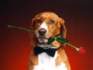 cane, rosa, rossa, pegno, amore, regalo, cartoline anniversario