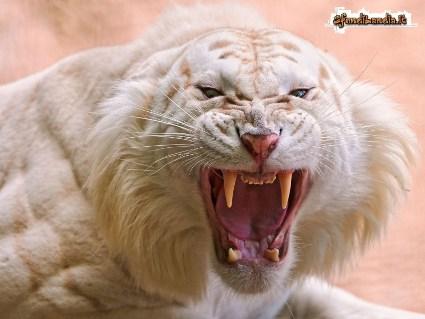 bianco, tigri, spavento, difesa, attacco, fame, sentire, rugito