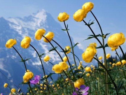 yellow, flower, stelo, sfidano, altezza, montagna, primavera, estate, inverno, neve, gelano, seccano, coperti, freddo, ricrescere, dopo