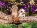 coniglio, albero, staccionata, sguardo, vedere, spiare, cercare, fiori, viola