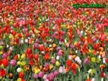 prato, tulipani, fiori, colori, giallo, rosso, campo, fiorito, campagna