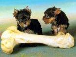 canetti, cuccioli, cani, osso, enorme, indecisione,