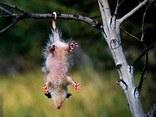 opossum, animali, coso, schifoso, ridicolo, spelacchiato, albero, appeso, coda, topo, gigante