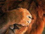 leone, animali, bubu settete