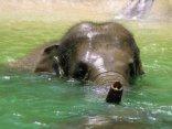 elefante, proboscide, acqua, scherzi, orecchie, dumbo