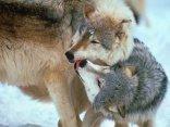 restio, coppia, lupo, coccole, sgradite, rubare, un bacio, kiss, smack