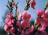 albero, frutta, pesche, dolci, zucchero, marmellata, fiori, prima, dopo, frutto, primavera, fioritura, rinascita
