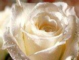 rugiada, ancora, fragilit�, grande, sentimento, candida, bianco, puro, soave, grazioso, graziosa, gradita