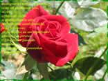 rosa, fiore, scarlatta, poesia, rossa, amore, sentimenti
