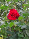 rosa, bellissima, fiore, rosso, rosa rossa, profumo, colori