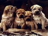 Sharpei, rughe, cani, cuccioli, cagnolini
